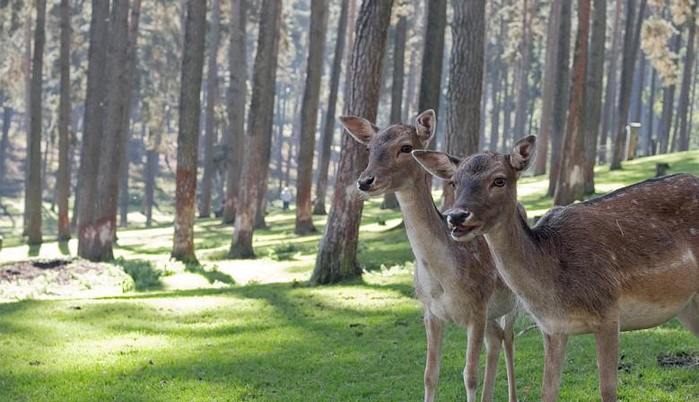 deer&